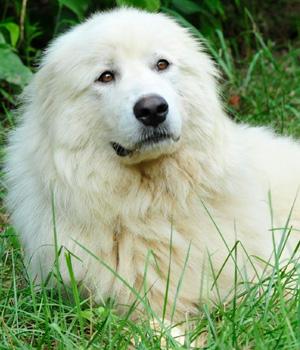 Akbash-Dog-2
