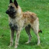 Belgian-Shepherd-Laekenois-2