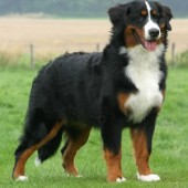 Bernese-Mountain-Dog-2
