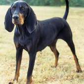 Black-and-Tan-Coonhound-2
