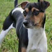 Brazilian-Terrier-2