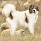 Bulgarian-Shepherd-Dog-2