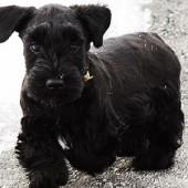 Cesky-Terrier-2