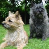 Cairn-Terrier-2