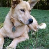 Carolina-Dog-2