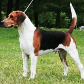 English-Foxhound-2