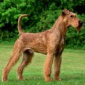 Irish-Terrier-2