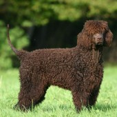 Irish-Water-Spaniel-2