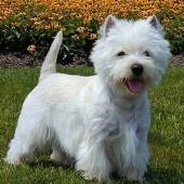 West-Highland-White-Terrier-2
