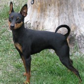 Miniature-Pinscher-2