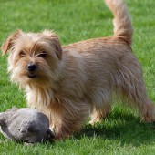 Norfolk-Terrier-2