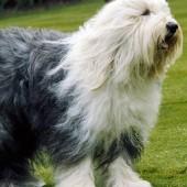 Old-English-Sheepdog-2