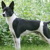 Rat-Terrier-2