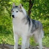 Siberian-Husky-2
