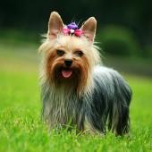 Yorkshire-Terrier-2