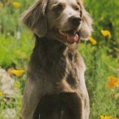 German-Longhaired-Pointer-2
